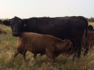 Dexter Cattle for Sale