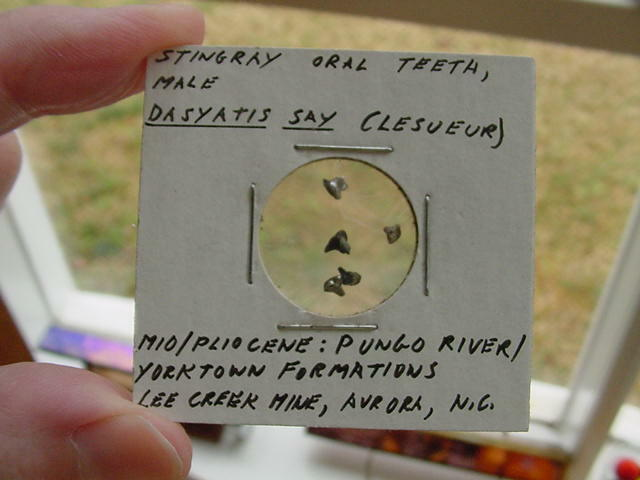 (S1367-H) Micro Fossil Stingray Sting Ray oral teeth male Dasyatis Aurora US
