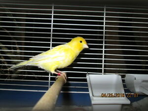 canari/ canary/ serin jaune male yellow 2015