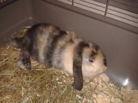 Beautiful bunny for sell with the cage