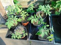 Tomato Plants x 1 Home Grown