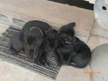 WORKING  KELPIE PUPS FOR SALE Darling Downs Preview