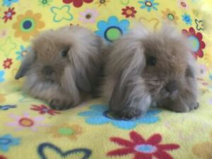 Adorable Baby Lionlop Bunnies Ready to Leave