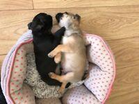 Chugs - 2 Beautiful puppies 1 male and 1 bitch