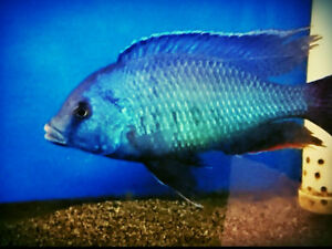 Adult Cichlids Blue-dolphin, Dragon-blood and Red-Jewel for sale