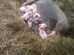 new born mini pigs