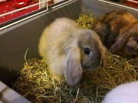 2 Rabbits for sale text for pictures