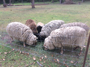 Sheep dorper x Sussex Cooranbong Lake Macquarie Area Preview
