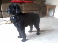 Seeking loving family to care for miniature poodle in your home (York) for holidays, not kennels.