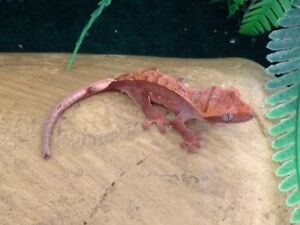 Baby Harlequin Crested Geckos