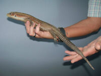 Handsome male Sudan plated lizard for sale