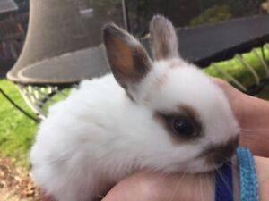 Adorable Baby Bunnies for Sales (Holland Lob x Dwarf Rex)