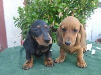 DACHSHUND (MINIATURE SMOOTH HAIRED)