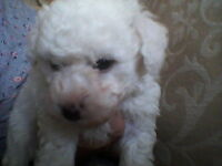 bichon frises ready to let go good homes only beautiful real life teddys a joy to own