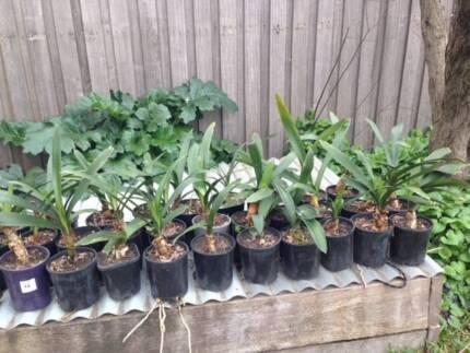 Beautiful orange Clivia - 25 established plants - $12 per plant Coburg North Moreland Area Preview
