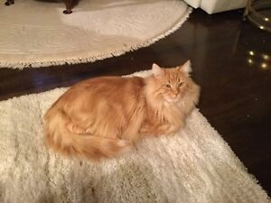 LOST - Male Long Haired Orange Tabby