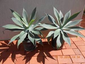 LARGE AGAVES Robina Gold Coast South Preview