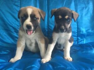 Adopt Dogs & Puppies Locally in Ontario | Pets | Kijiji