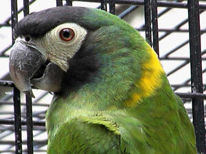 WANTED: Yellow Collared Macaw