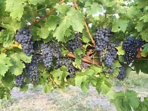 Wine Grapes Yankalilla Yankalilla Area Preview