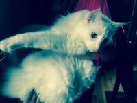 Beautiful white and fluffy cat (male)