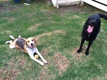 Wanted - Desexed Labrador Vermont South Whitehorse Area Preview