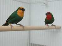 Red and Orange Headed Parrot Finches