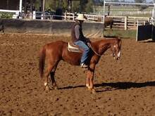 Chequers - Stockhorse Chestnut Gelding Armidale 2350 Armidale City Preview