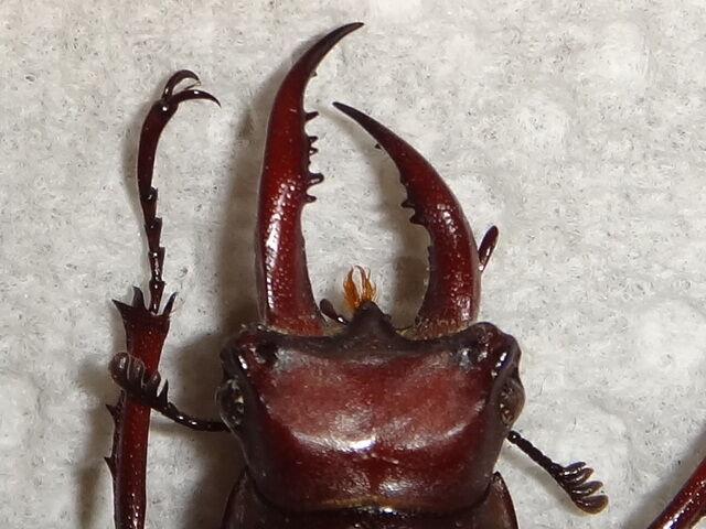 Coleoptera Lucanidae Lucanus elaphus Jaw Deformity Aberrant Stag Beetle Insect