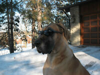 Great Dane Looking For New Home Perfect Companion Please Look