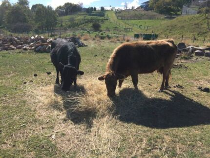 Cows for sale Launceston 7250 Launceston Area Preview