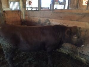 Yearling Red Angus Bull for sale - Clinton ON