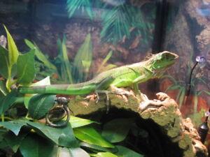 Iguane vert (reptile)