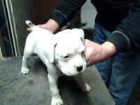 3 beautiful white boxer puppies
