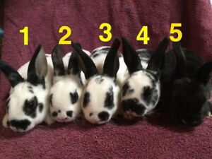 Baby Rabbits For Sale | Kijiji in Ontario  - Buy, Sell & Save with