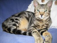 beautiful bengal x for re-homing