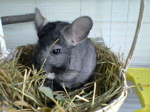 Baled hay/straw & pine shavings delivered 4 your small animals Stratford Kitchener Area image 4