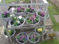 """12""""HANGING BASKET PLANTED WITH WINTER PANSIES AND CHRYSANTHEMUMS CHOICE OF COLOURS"""