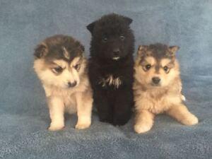Siberian Retriever Puppies