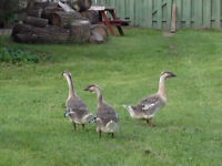 Young Trio of Chinese Geese