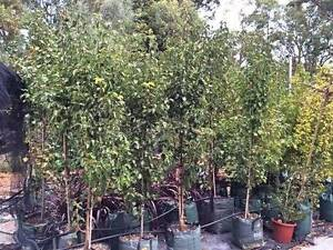 Assorted Advanced Trees from $65 - Free delivery for over 3 trees Gidgegannup Swan Area Preview