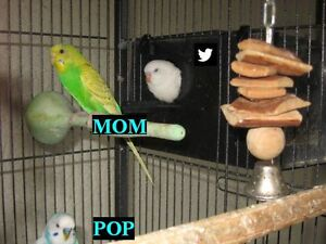 BUDGIE PAIR with 2 eggs ~ a Family of 4?
