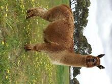 2 x Female Alpacas Tintinara The Coorong Area Preview