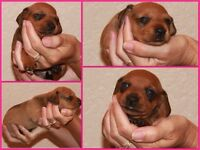 6 Beautiful Mini Dachshund Puppies - 2 Boys - 4 Girls