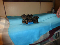 Yorkie Pups ~ 4 males, 2 females