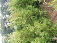3 ft to 4ft cedars for sale
