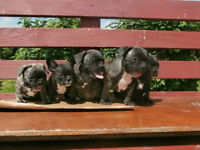 Bueatiful Purebred French Bulldogs Puppies for a nice family