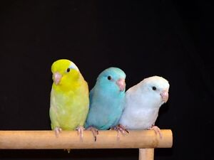 ❤♥☆♥ Parrotlets ♥ Babies with Cage and Food ♥☆♥❤ Cambridge Kitchener Area image 4