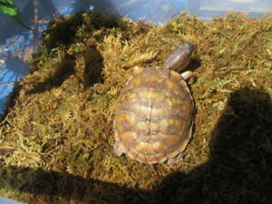 Young 3 Toed Box Turtle