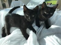 Male black kittens for sale